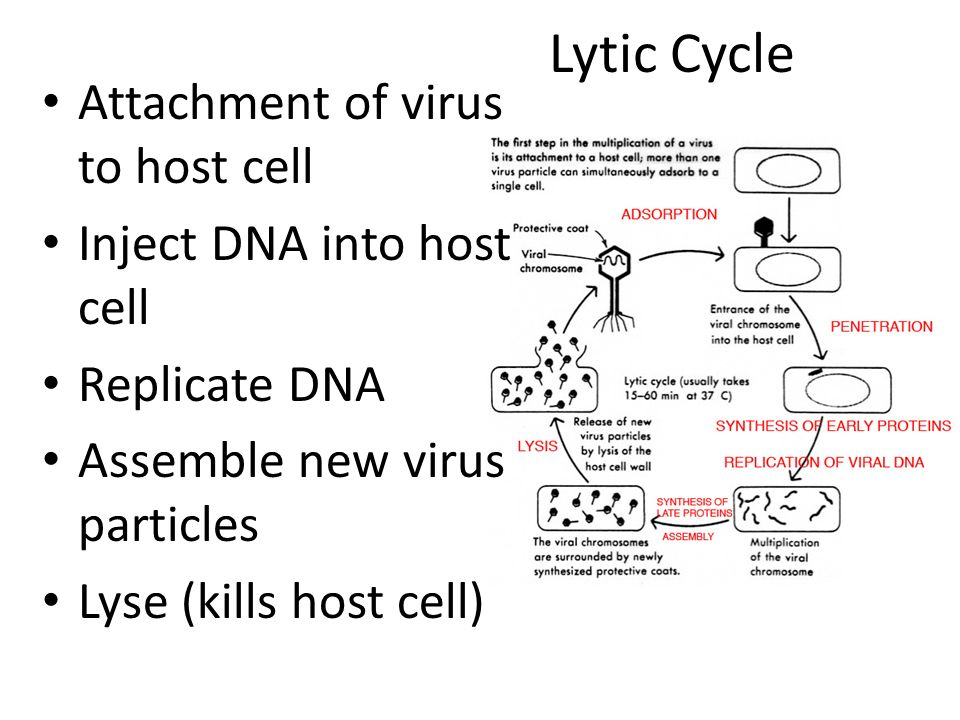 Lytic Cycle Attachment of virus to host cell Inject DNA into host cell