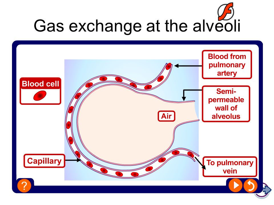 Gas exchange at the alveoli