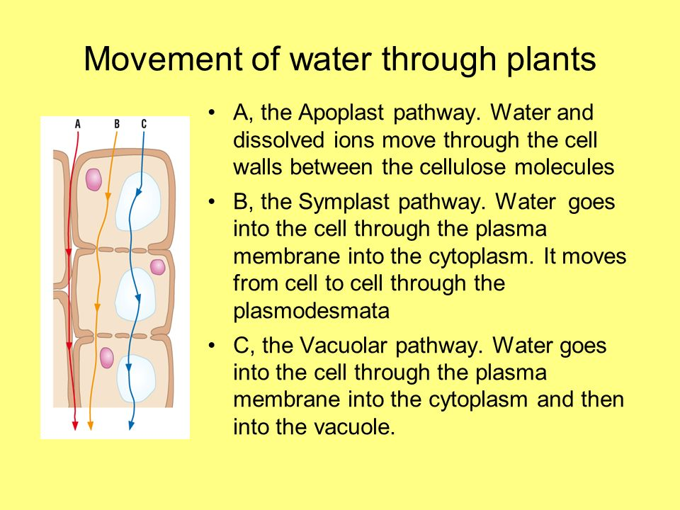 Movement of water through plants