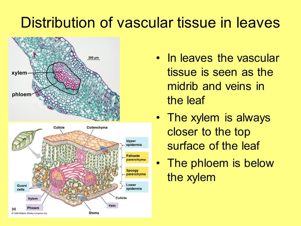 Distribution of vascular tissue in leaves