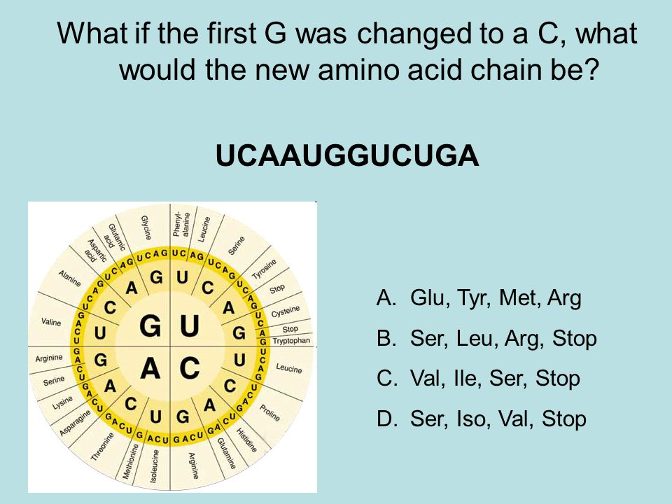 What if the first G was changed to a C, what would the new amino acid chain be