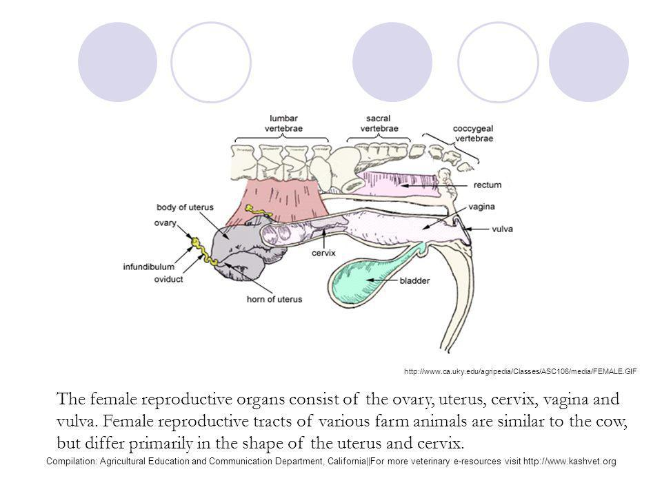 Female bovine reproduction system ppt video online download 5 the female reproductive organs ccuart Image collections