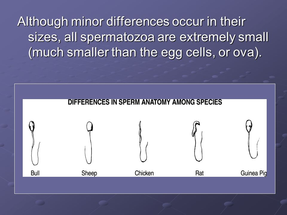 Although minor differences occur in their sizes, all spermatozoa are extremely small (much smaller than the egg cells, or ova).