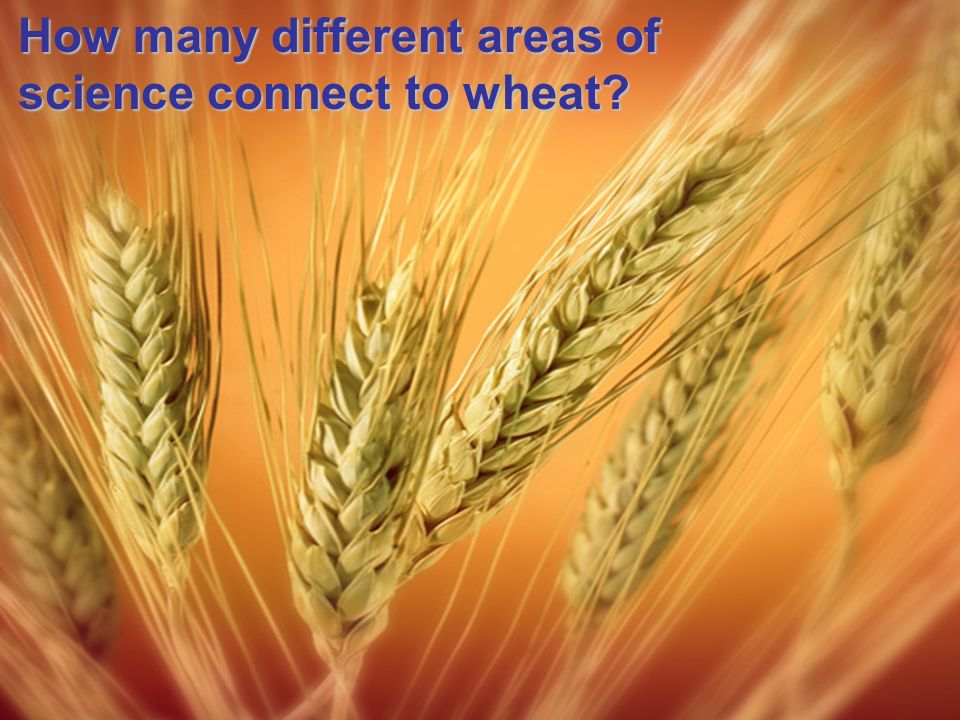 How many different areas of science connect to wheat