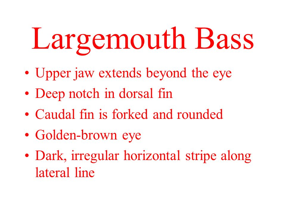 Largemouth Bass Upper jaw extends beyond the eye