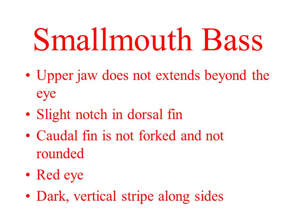 Smallmouth Bass Upper jaw does not extends beyond the eye