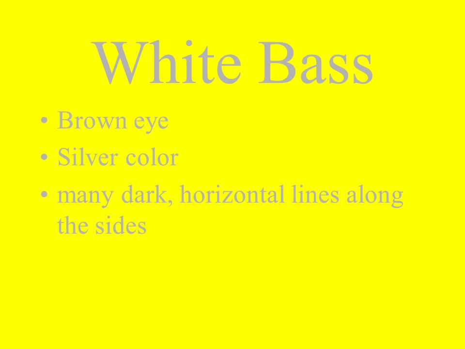 White Bass Brown eye Silver color