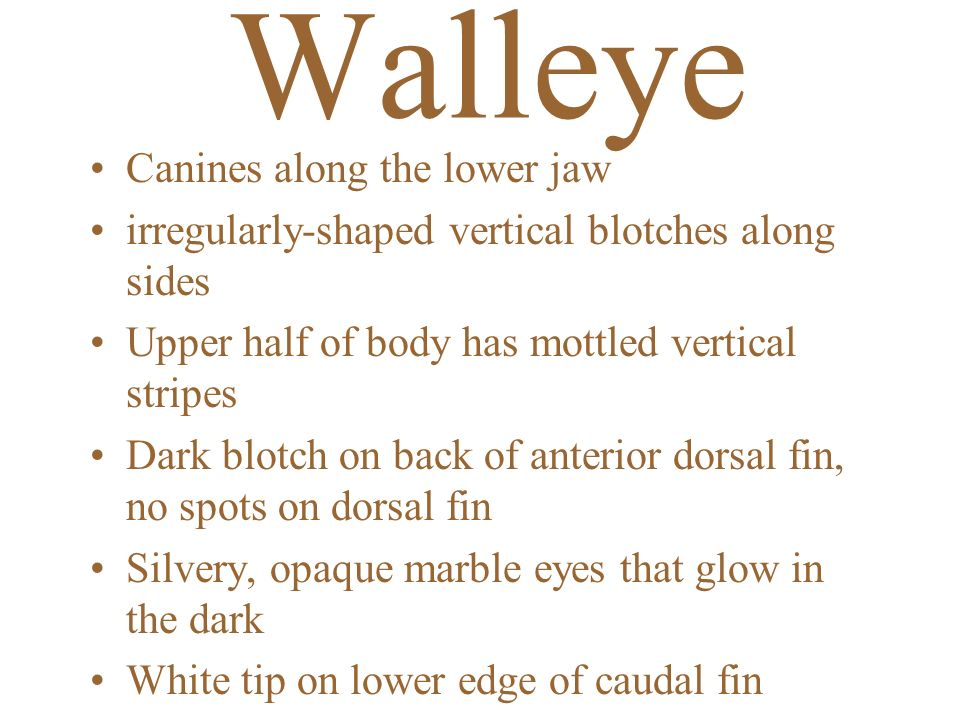 Walleye Canines along the lower jaw