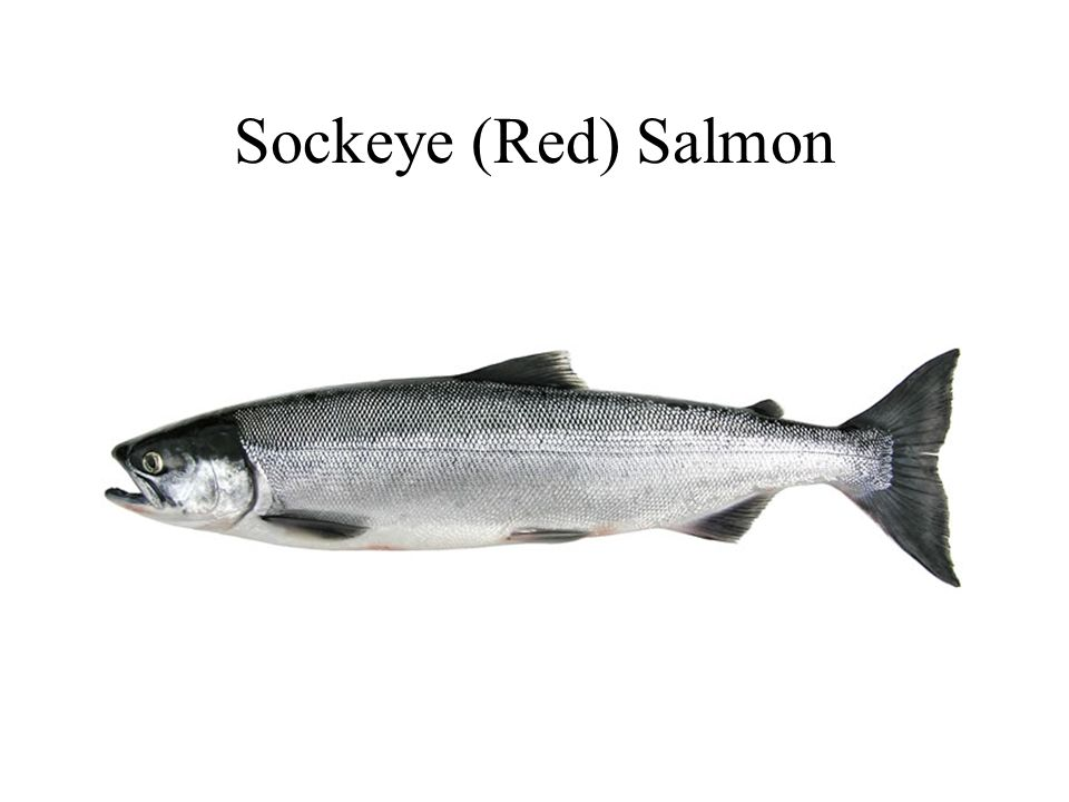 Sockeye (Red) Salmon