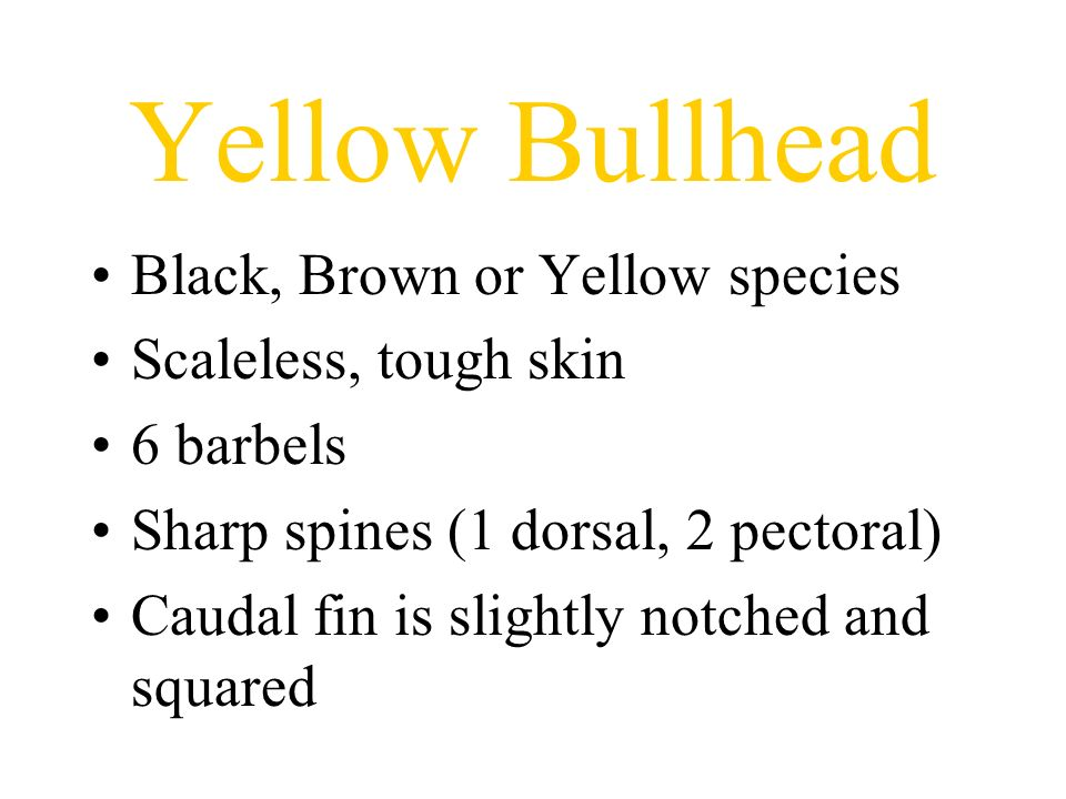 Yellow Bullhead Black, Brown or Yellow species Scaleless, tough skin