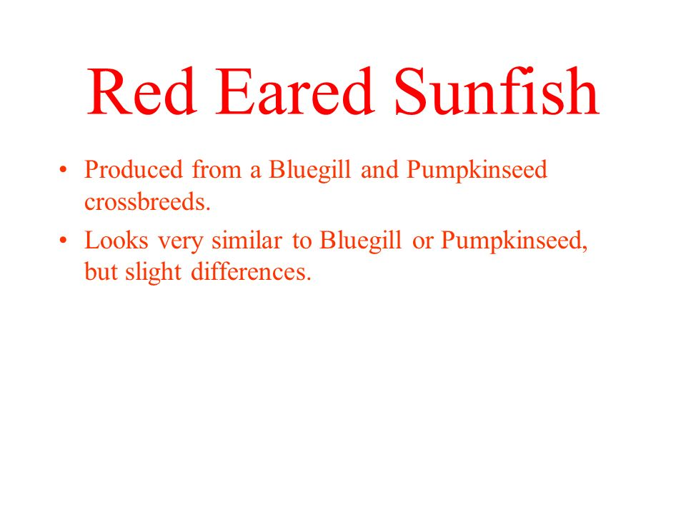 Red Eared Sunfish Produced from a Bluegill and Pumpkinseed crossbreeds.
