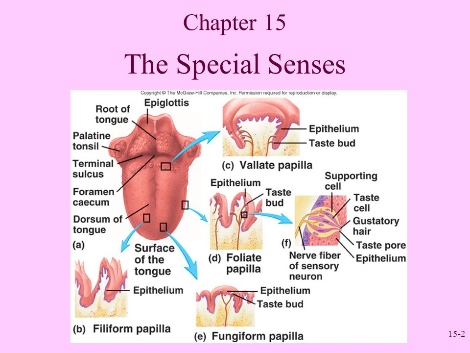 Nice Special Senses Anatomy And Physiology Inspiration - Anatomy And ...