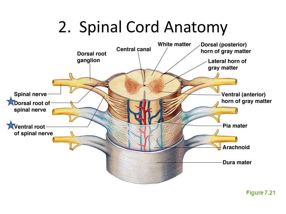 Anatomy Of Spinal Cord Preeminent Images Photos With Anatomy Of ...
