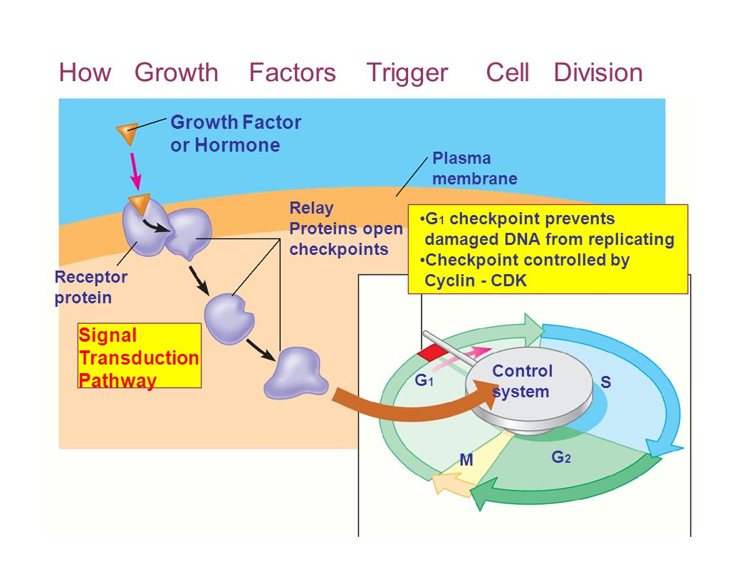 How Growth Factors Trigger Cell Division
