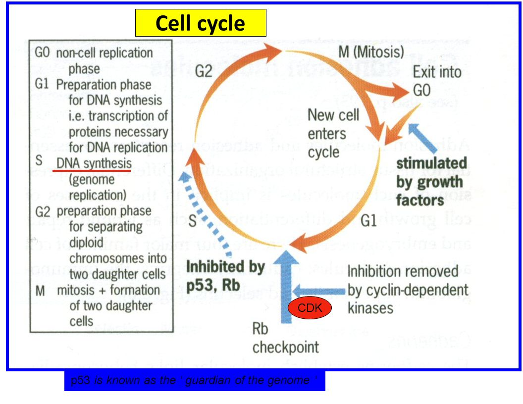 Cell cycle CDK p53 is known as the ' guardian of the genome '