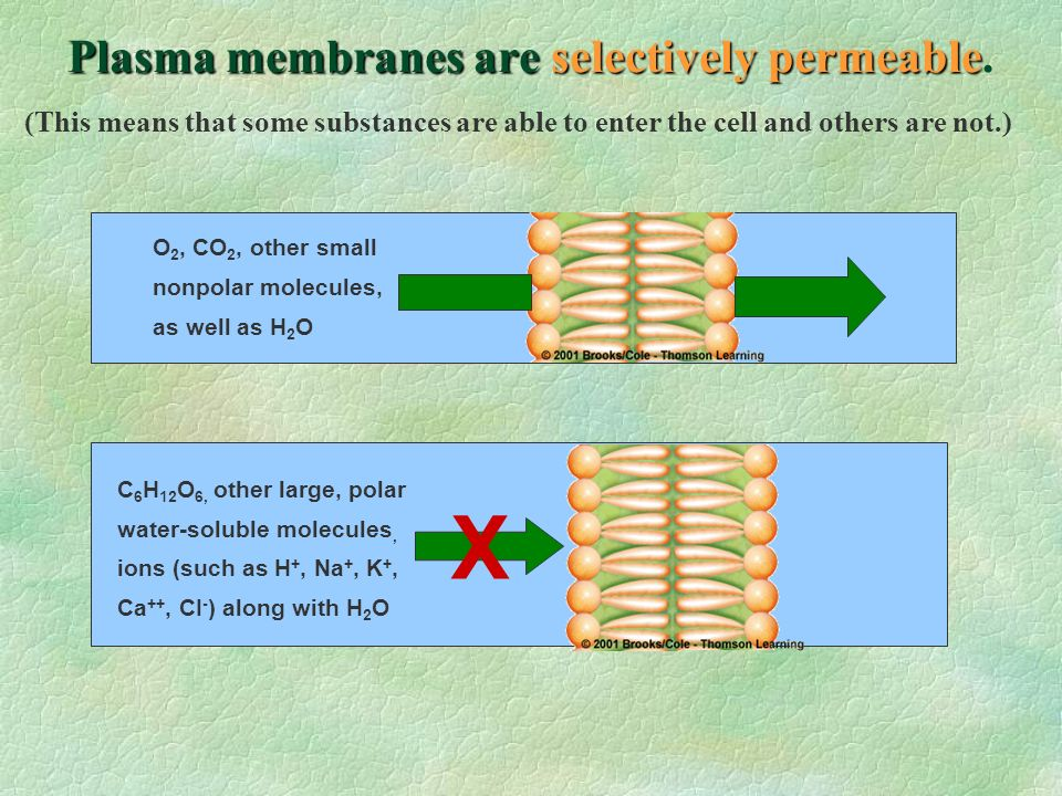 Plasma membranes are selectively permeable.