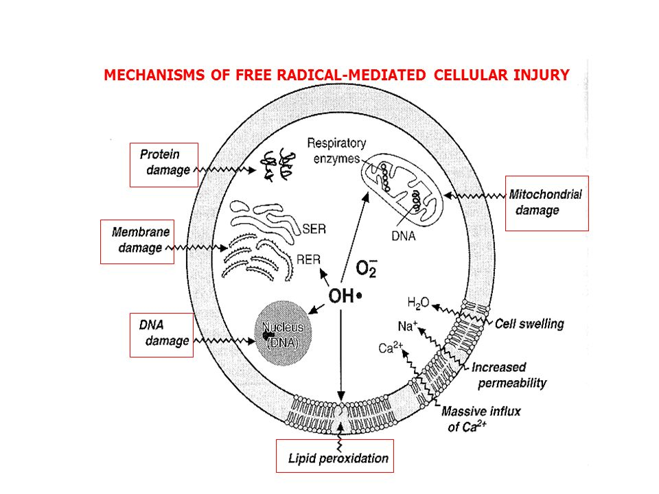 MECHANISMS OF FREE RADICAL-MEDIATED CELLULAR INJURY