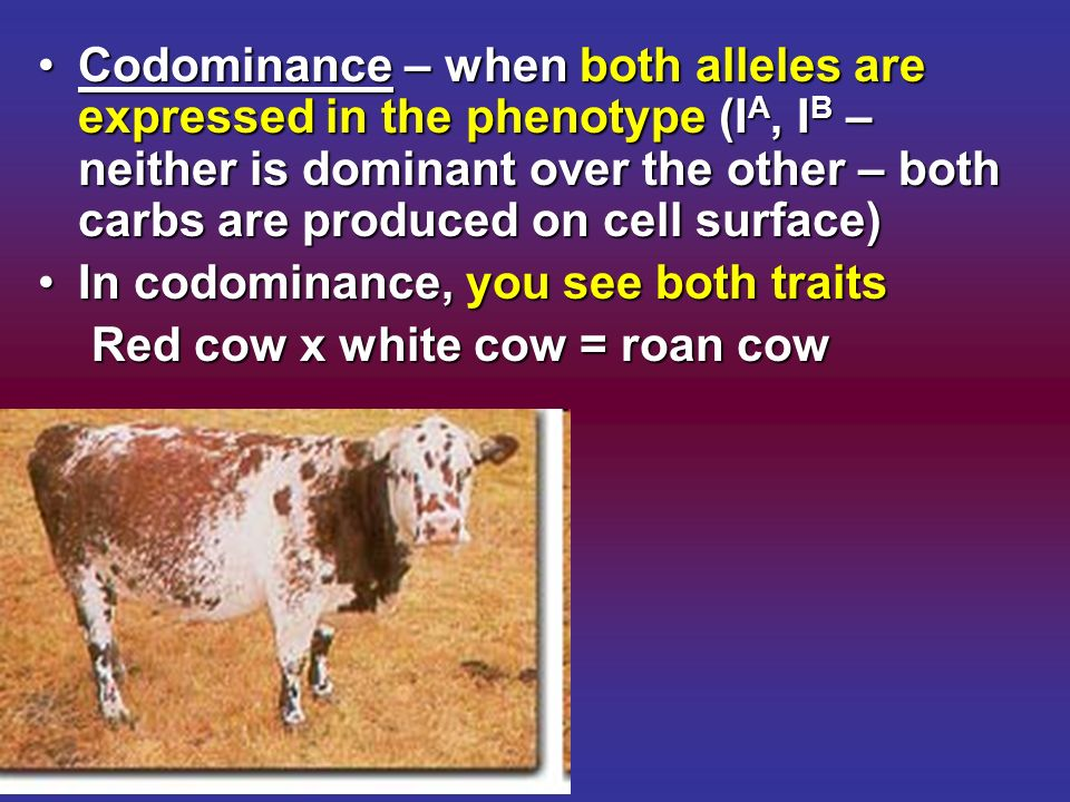 Codominance – when both alleles are expressed in the phenotype (IA, IB – neither is dominant over the other – both carbs are produced on cell surface)