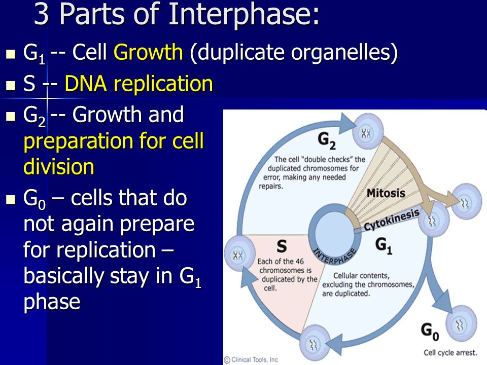 3 Parts of Interphase: G1 -- Cell Growth (duplicate organelles)