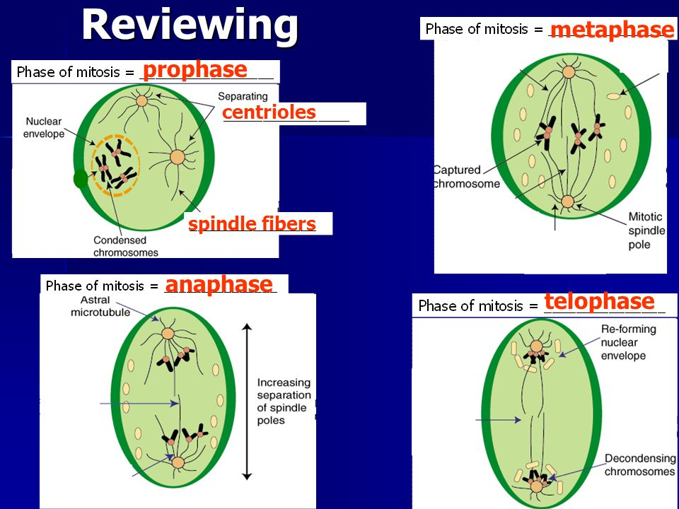 Reviewing metaphase prophase anaphase telophase centrioles