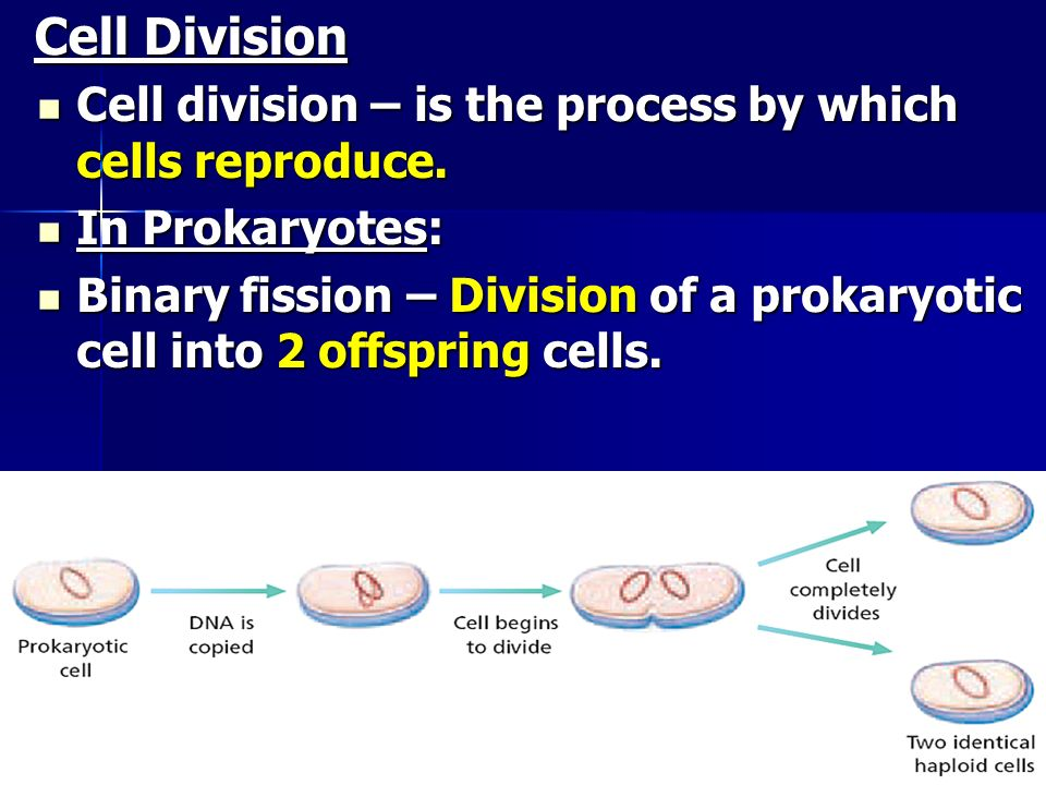 Cell Division Cell division – is the process by which cells reproduce.