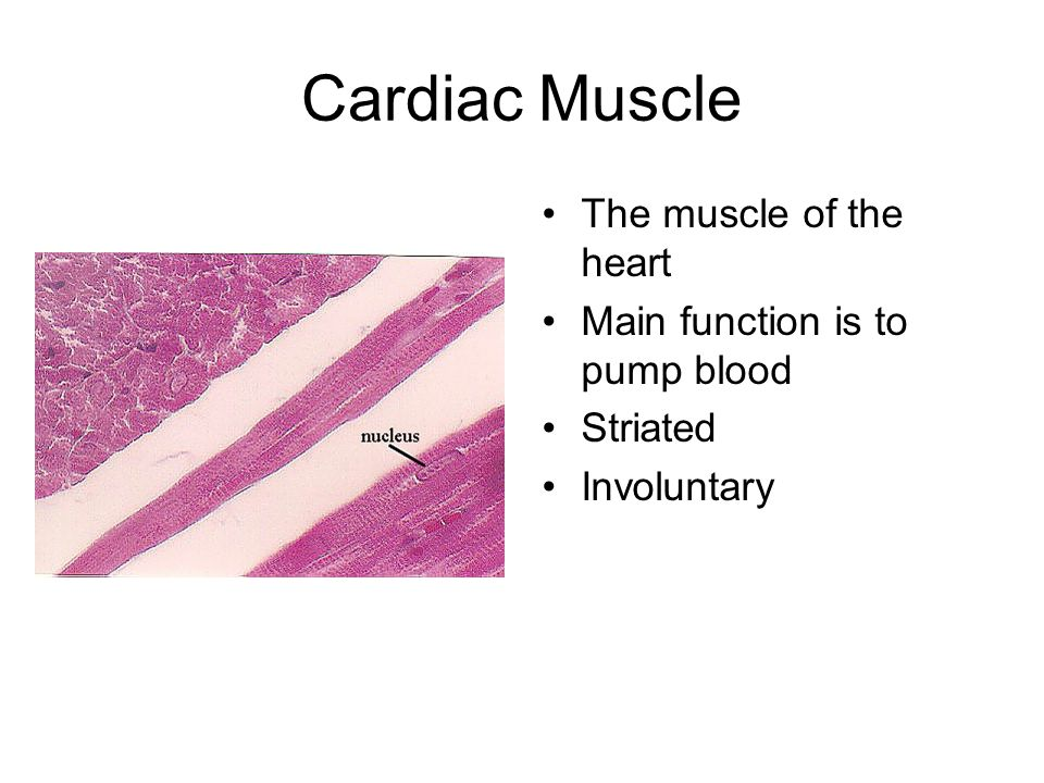 Cardiac Muscle The muscle of the heart Main function is to pump blood
