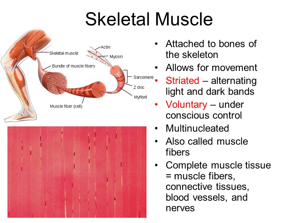 Skeletal Muscle Attached to bones of the skeleton Allows for movement