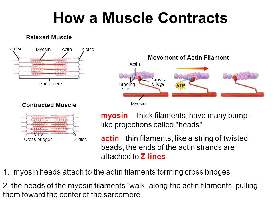 How a Muscle Contracts Relaxed Muscle. Z disc. Myosin. Actin. Z disc. Movement of Actin Filament.