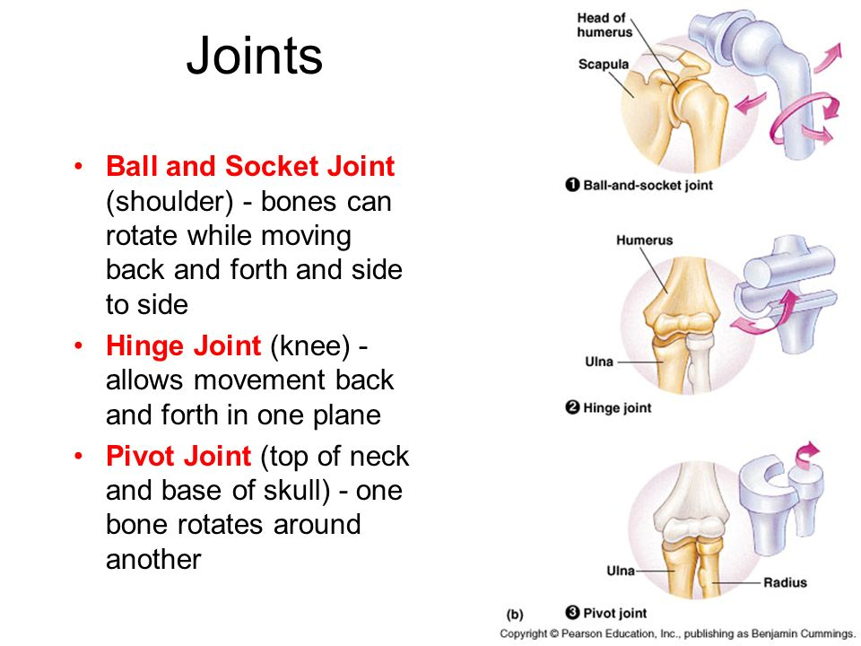 Joints Ball and Socket Joint (shoulder) - bones can rotate while moving back and forth and side to side.