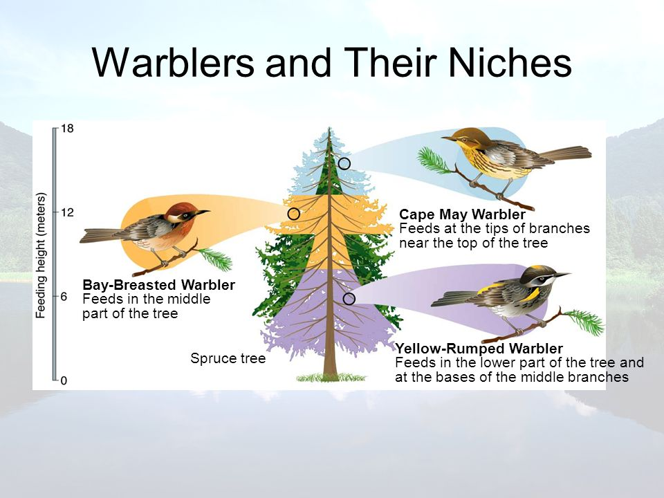 Warblers and Their Niches
