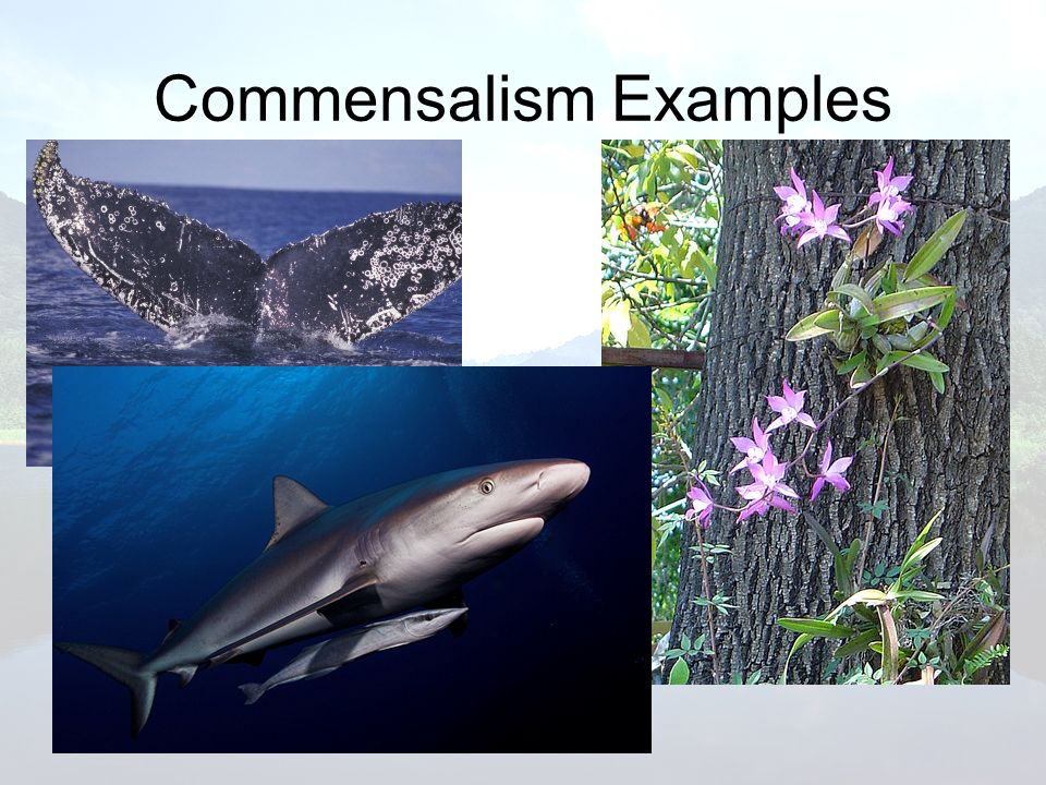 Commensalism Examples
