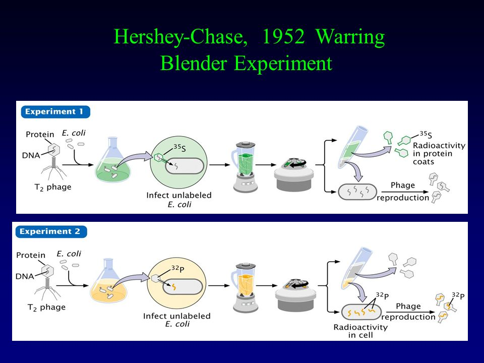 Hershey-Chase, 1952 Warring Blender Experiment
