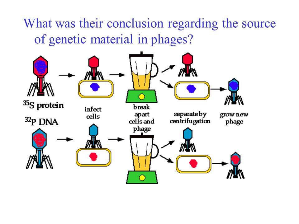 What was their conclusion regarding the source of genetic material in phages