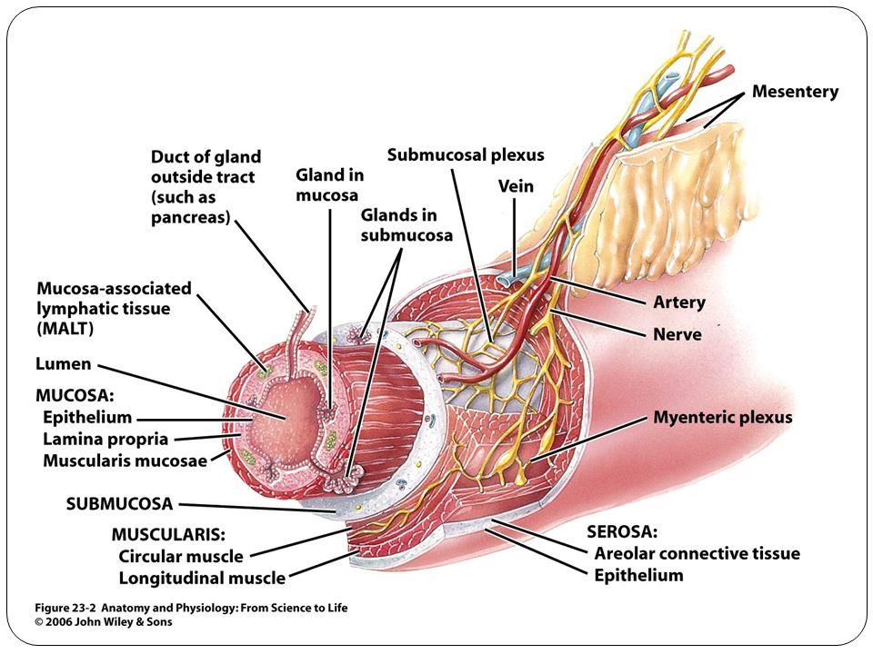 Unique Gastrointestinal Anatomy And Physiology Festooning - Anatomy ...