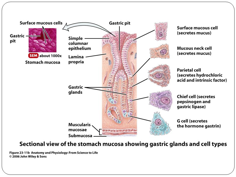 Modern Gastric Anatomy And Physiology Motif - Human Anatomy Images ...