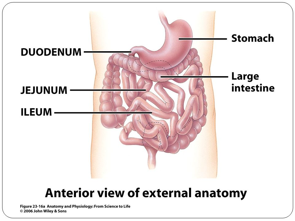 All About Ileum Terminal Ileum Location Ileum Function Amp Ileum