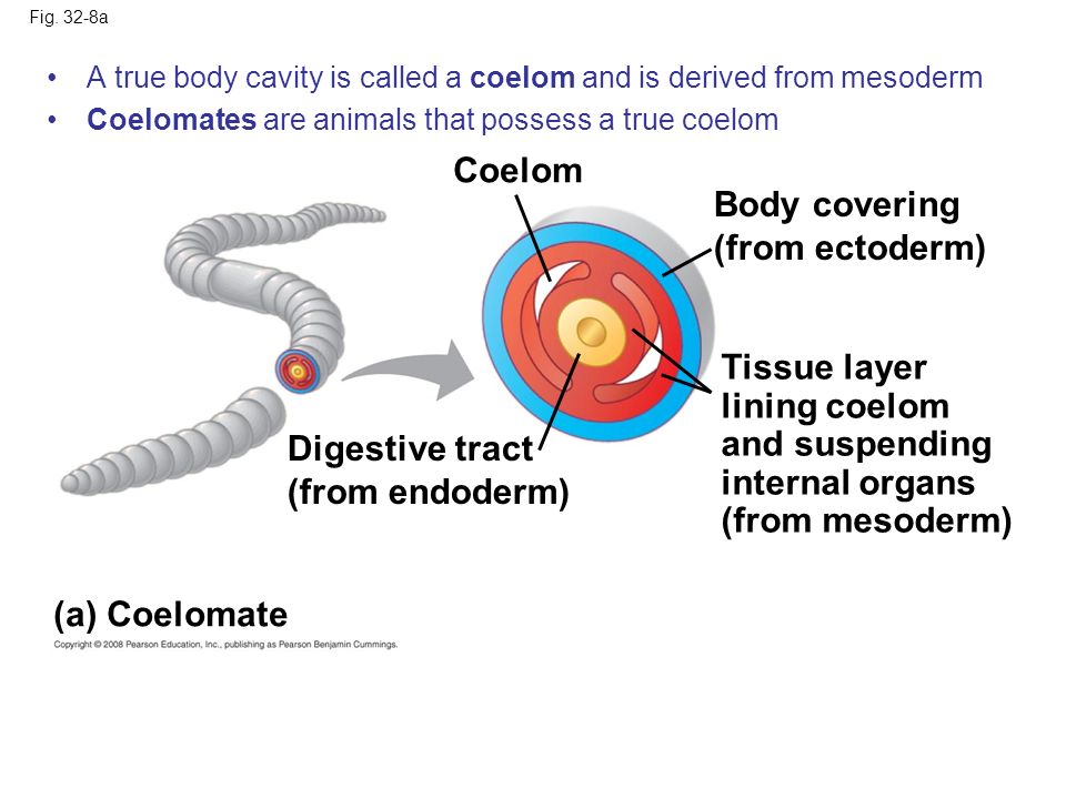 Coelom Body covering (from ectoderm) Tissue layer lining coelom