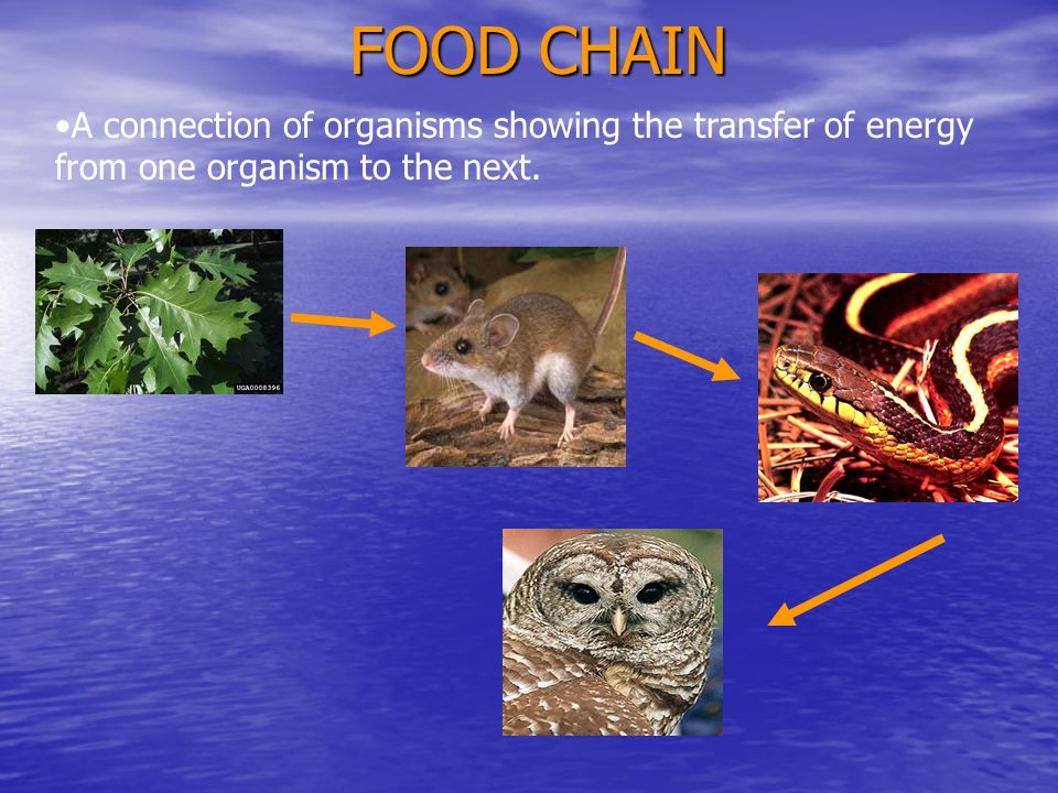 FOOD CHAIN A connection of organisms showing the transfer of energy from one organism to the next.