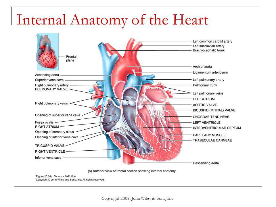 Chapter 20: The Cardiovascular System: The Heart - ppt download