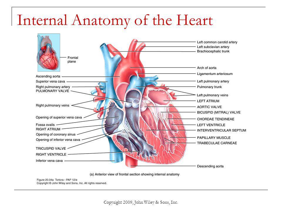 Unique Heart Anatomy Coronary Sinus Inspiration - Human Anatomy ...
