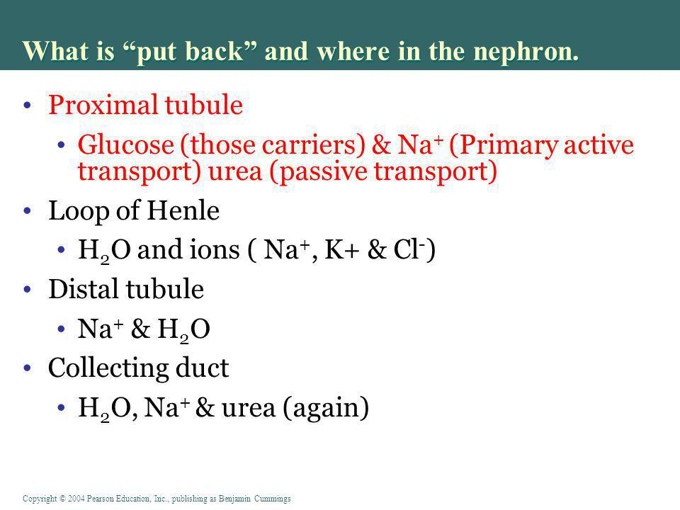 What is put back and where in the nephron.