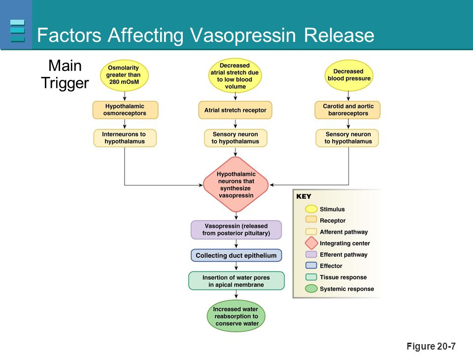 Factors Affecting Vasopressin Release