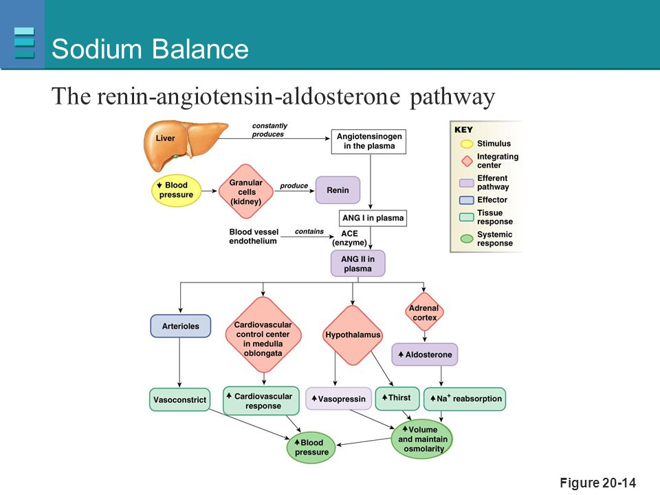 Sodium Balance The renin-angiotensin-aldosterone pathway Figure 20-14
