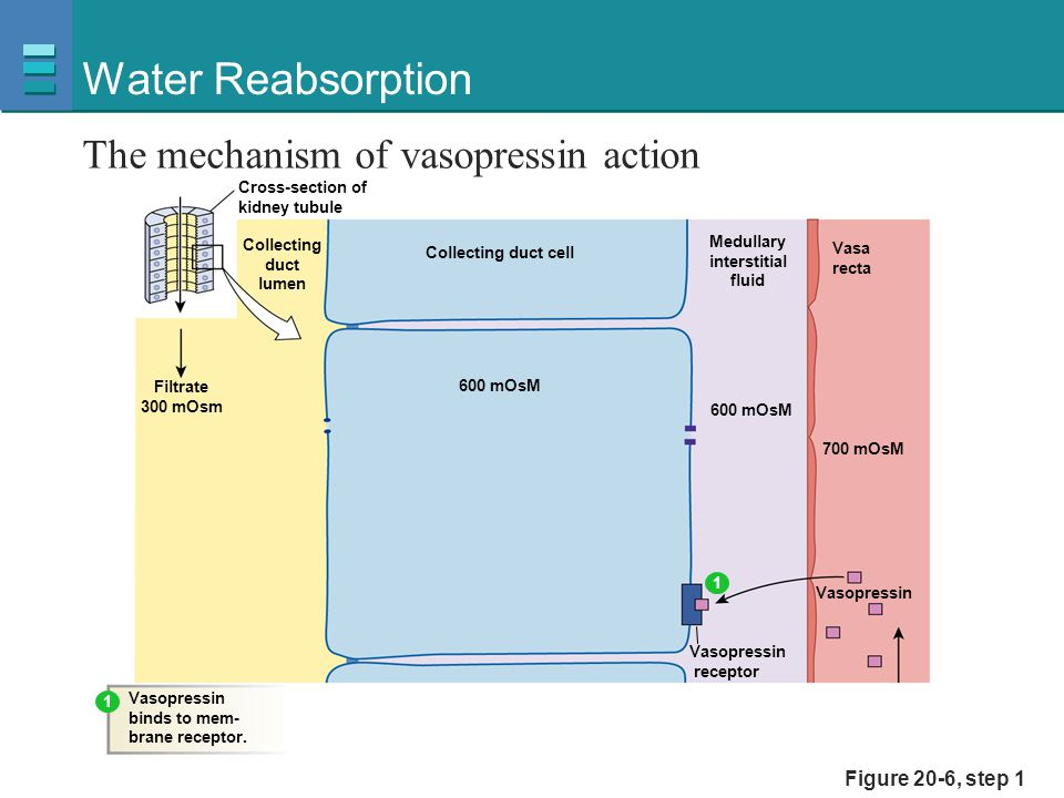 Water Reabsorption The mechanism of vasopressin action