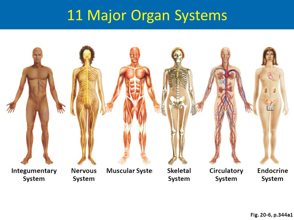 Animal Tissues And Organ Systems Ppt Video Online Download