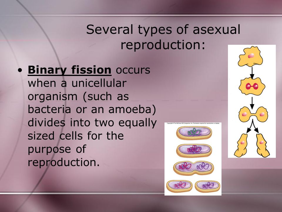 Asexual reproduction in amoeba process servers