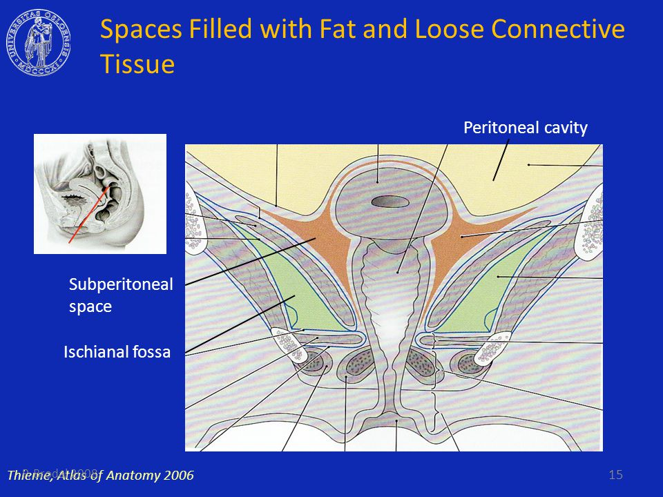 Spaces Filled with Fat and Loose Connective Tissue