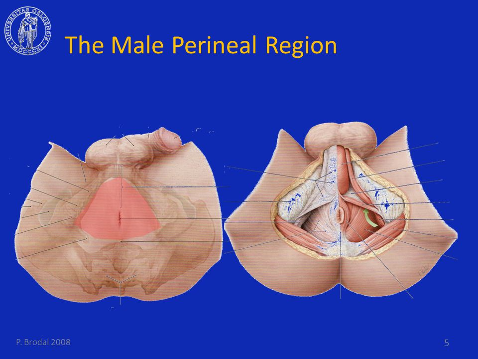 The Male Perineal Region