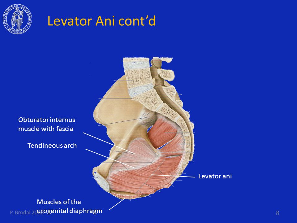 Levator Ani cont'd Obturator internus muscle with fascia