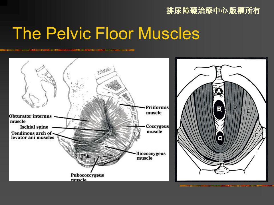 Pelvic Floor Anatomy And Female Lower Urinary Tract